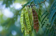 Mimosa Tree seedpods (rpennington9) Tags: bokeh seeds seedpods mimosatree tree trees