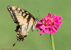 Eastern Tiger Swallowtail (BirdFancier01) Tags: nature garden flower plant zinnia swallowtail tiger