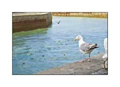 Mouette (MOINELE) Tags: port goeland mer ocean mouette normandie seagull