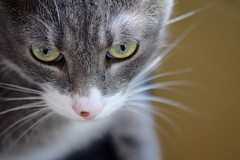 What's He Thinking? (Victoria T Hunt) Tags: tabby mackerel