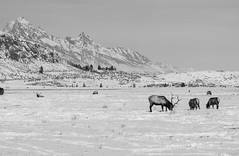 Tetons Overlooking the National Elk Refuge, Wyoming (T.M.Peto) Tags: blackandwhite monochrome outdoor getoutdoors getoutside travel wyoming jacksonhole elk wildlife nationalelkrefuge tetons grandteton snow winter cold mountains mountain valley grazing
