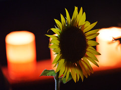 MIDNIGHT FLOWER (Sign-Z) Tags: nikon d4 afsnikkor28300mmf3556gedvr flower sunflower    night