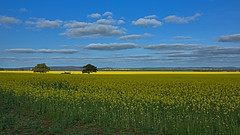 CANOLA BETWEEN GRIFFITH AND ARDLETHAN (16th man) Tags: griffith ardlethan nsw newsouthwales canola rapeseed canon eos eos5dmkiii australia