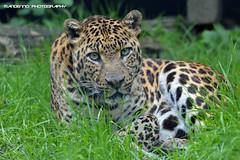 African leopard - Olmense Zoo (Mandenno photography) Tags: dierenpark dierentuin dieren animal animals zaki african leopard olmense olmensezoo olmen belgie belgium bigcat big cat balen