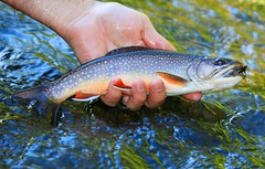 brook trout in Winneshiek Co. IA 854A8363 (lreis_naturalist) Tags: brook trout winneshiek county iowa larry reis