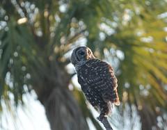 D71_8436 (Capt A.J.) Tags: barred owl