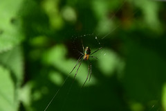 20160905_033_2 () Tags:  spider   green
