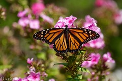 Nobody But Me (flipkeat) Tags: nature closeup monarch butterfly insect wings open nectaring mississauga ontario canada butterflies mariposa farfalle beautiful awesome monarchwatch migration worldphotographyday perfect specimen