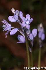 Hyacinthoides cf. paivae S.Ortiz & Rodr.Oubia (Lus Gaifm) Tags: hyacinthoidespaivae asparagaceae lusgaifm macro natureza nature planta plantae flor flower infestaparedesdecoura