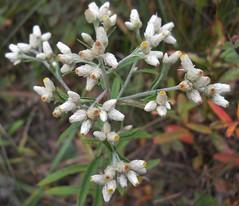 Fragrant Cudweed (Pseudognaphalium obtusifolium) (John Scholze) Tags: fragrant cudweed sweet everlasting pseudognaphalium obtusifolium wisconsin wildflower