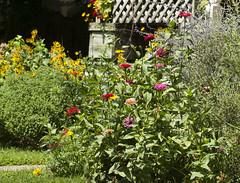 zinnias in front bed (Shotaku) Tags: gardens garden flowerbed flowers flower zinnias annuals rudbeckia chrysanthemum