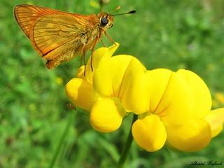 Butterfly 998