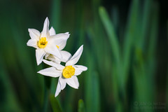 Narcissus (jciv) Tags: flower flowers macro spring file:name=dsc06996 narcissus