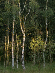 Silver Sliver (matrobinsonphoto) Tags: silver birch trees tree wood woodland forest north yorkshire york strensall common nature reserve light golden hour sunlight sunset sun natural soft focus shallow dof depth field leaves leaf green countryside outdoors landscape