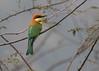 Chestnut-headed Bee-eater (Merops leschenaulti) (stuartreeds) Tags: chestnutheadedbeeeater bird india corbettnationalpark colourful beeeater