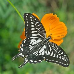 Papilio xuthus on Cosmos (mishko2007) Tags: papilioxuthus cosmos korea 105mmf28