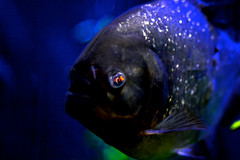 Piranha (donjuanmon) Tags: sliders slidersunday piranha donjuanmon fish