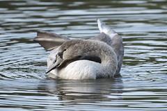 Cygnet Swan (Pabs777) Tags: nikond500 nikon d500 nikonafs200500mmf56evr cygnet swan animal bird birds nature wildlife newmillerdam wakefield uk 2016 animalplanet