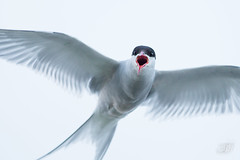 Sterne arctique (Tifaeris) Tags: arctictern charadriiformes laridés sternaparadisaea sternearctique bird oiseau