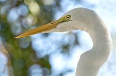 Great egret  Grande aigrette (Chizuka2010) Tags: hbw bokeh aigrette egret greategret grandeaigrette birdprofile florida birdsofflorida