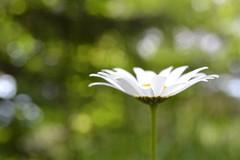 semplicemente margherita (C-Smooth) Tags: daisy margherita flower