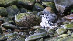 Splash bath (ricmcarthur) Tags: baeolophusbicolor tuftedtitmouse titmouse pond rondeau ricmcarthur rickmcarthur rondeauric