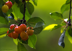 Ripe Cherries (Different Aspects) Tags: cherry cherries red ripe