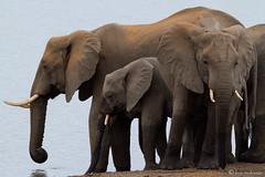 Elephants, drinking (leendert3) Tags: africanelephant sunrays5 ngc npc