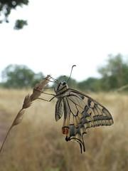 Schwalbenschwanz [ Old world swallowtail ] [ Makaonfjril ] ( Papilio machaon ) (ritschif) Tags: schwalbenschwanz papiliomachaon oldworldswallowtail makaonfjril makro tagfalter ritterfalter schmetterlinge insekten natur outdoor butterfly dagfjrilar tier