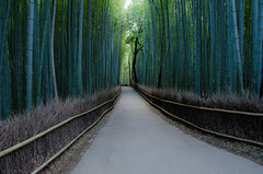 Path of Bamboo in Arashiyama /  (Kaoru Honda) Tags: city winter nature japan landscape temple japanese nikon kyoto traditional arashiyama    kansai    japon  tenryuji   kinki        d7000