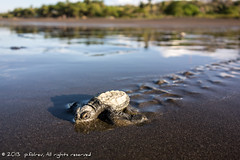 first trip to the sea (p.folrev) Tags: baby beach nature water costarica turtle birth explore 2012 1k noff ostional ridleyseaturtle wwwfolrevcom