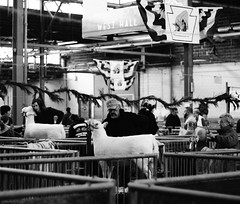 primping (Jen MacNeill) Tags: show blackandwhite white black animal fence sheep pennsylvania farm january angles pa agriculture livestock showing harrisburg 2013 gypsymarestudios canont3i jennifermacneilltraylor jmacneilltraylor