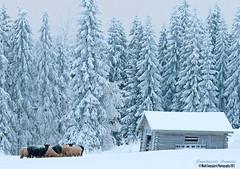 Harakka (mattisj) Tags: winter snow birds barn forest aves magpie lumi talvi picapica metsä harakka eläimet linnut lammas lato rakennukset lampaat kotieläimet varpuslinnut