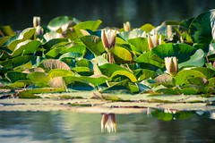 Queen Water Lily (icemanphotos) Tags: flowers summer sunlight lake flower reflection water dof waterlily bokeh icemanphotos