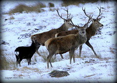 Red Deer Stags & Sika Stag (Ally.Kemp) Tags: winter red wild snow scotland stag scottish deer stags sika