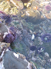 Knobby Star (and a bunch of other stuff!) (tsoleau) Tags: ca tidepools ranchopalosverdes