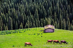 Qiongkushitai Grassland, Xinjiang China (Feng Wei Photography) Tags: china wood trip travel house color green tourism nature beautiful beauty horizontal architecture forest landscape cow wooden cabin scenery colorful asia view cattle outdoor vibrant traditional scenic vivid peaceful tranquility journey serenity vista xinjiang serene prairie oriental grassland kazakh tranquil qiongkushitai