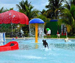 FETCH!.........Explore (Midnight and me) Tags: dogs pool fun palmtrees brightcolors fetch waterfun dalmations fetching standardpoodle watersplashing blackstandardpoodle poolwaterfalls dogrunninginwater midnightandme browardcountyk9event