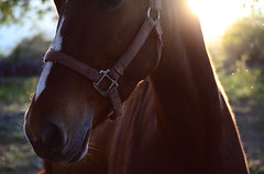 (Benoms) Tags: sunset horse sol caballo atardecer nak yegua benoms