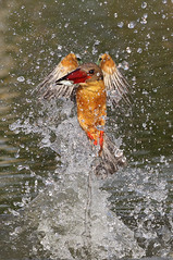 angel (kampang) Tags: fish storkbilledkingfisher pelargopsiscapensis storkbilledfishing