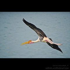 Enjoying the Flying - Painted stork (Sathish_Photography) Tags: park blue india lake bird water its photography flying painted enjoying sanctuary stork tamilnadu sathish vedanthangal