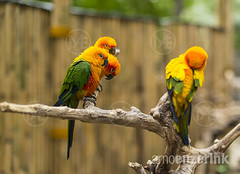 Conures sitting on a branch (arnoenzerink.com) Tags: blue red color colour green bird colors yellow four colorful colours beak parrot aves sharp multiple colourful copyspace macaw conure animalia ara captivity quartet chordata arini conures psittacidae psittaciformes arinae psittacoidea