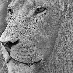 PROFILE OF THE KING (STEVE AND ANNETTES WORLD) Tags: travel monochrome southafrica african wildlife lion adventure safari limpopo steveclark saphoto elementsorganizer