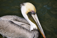 Brown Pelican (Pelecanus occidentalis) (Victoria Lea B) Tags: bird florida pelican brownpelican pelecanus pelecanusoccidentalis bokeelia