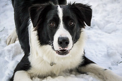 Playbow (Graham Gibson) Tags: winter dog snow playing puppy collie pittsburgh border panasonic 20mm f17 gf1