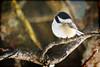 chickadee 2 (sharis snaps -Here sporadically) Tags: bird texture chickadee blackcappedchickadee tatot kerstinfranktexture