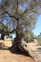 Millenium Olive tree (Marlis1) Tags: espaa explore catalua olivetrees alcanar farga oleaeuropaea montsia oleaceae marlis1 canoneos1000d oelbaumgewchse alcanarcataluaespaa oliveresmillenarias oliveresmillenaries milleniumolivetrees inexplorefeb212013
