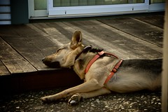 Lazy Dog Days (AndersHolvickThomas) Tags: dog nikon shepherd german d200 germanshepherd