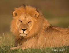 Male Lion at sunrise (MyKeyC) Tags: africa tanzania lion lions todd aaacolsmugmug aaacoltanzania