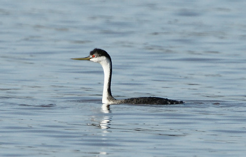 Western Grebe. GMNH 6910. Lake Oconee, Putnam County, 6 November 2009. Photo by Walter Knapp